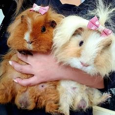 I am passionate about pets and guinea pigs are one of them. Guinea pig 101 is an ultimate resource for all guinea pig lovers who are passionate about learning everything about their guinea pigs and provide them with a life they deserve. Pet Guinea Pigs, Guinea Pig Care, Cute Little Things, Cute Little Animals, Happy Animals, Animals And Pets, Guine Pig, Baby Animals Pictures, Cute Piggies
