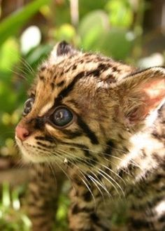 Forget watching those online cat videos. You can see these cute Margay kittens in the jungles of Mexico or Brazil.
