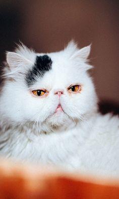 480x800 Wallpaper cat, face, purebred, white
