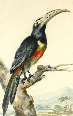 A Toucan On A Branch. Pteroglossus Aracari  Aert Schouman