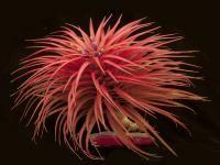 Tillandsia Species brachycaulos Supreme