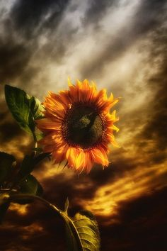 'Just before the death of flowers,  And before they are buried in snow,  There comes a festival season  When nature is all aglow.'  -   Author Unknown This is so Beautiful! I just love this!  I love Sunflowers as much as #diamondcandles and #harvestcontest ~