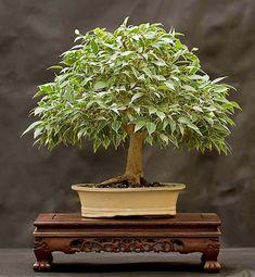 Бонсай из фикуса Бенджамина своими руками Bonsai Ficus, Bonsai Plants, Bonsai Garden, Planting Plants, Bonsai Trees, Amazing Nature, Gardening, Gardens, Bonsai