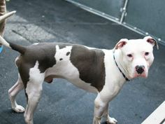 TO BE DESTROYED - 04/28/14  Manhattan Center My name is BLUE. My Animal ID # is A0995762. I am a male white and gray amer bulldog mix. The shelter thinks I am about 2 YEARS I came in the shelter as a STRAY on 04/05/2014 from NY 10009, owner surrender reason stated was ATT PEOPLE.  https://www.facebook.com/photo.php?fbid=792093160803565&set=a.611290788883804.1073741851.152876678058553&type=3&theater
