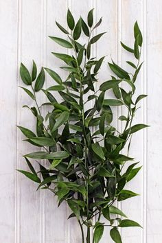 Image result for soft ruscus