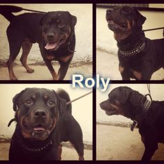 Roly is another boy in urgent need of rescue :( #safeandsound #rescue #rescuedog #dontshopadopt #dog #newlife #happy #love #givesomuch #giveadogachance #somanyneedanewhome #adoption #pet #beautiful #bestfriend #mansbestfriend www.safe-and-sound.org