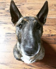 At Cookie Attention English Bull Terriers, Paladin, Dog Pictures, Cookie, Pets, Animals, Biscuit, Animales, Animaux