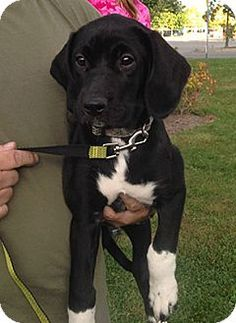 Beagle Lab Mix Beagle/Labrador Retriever Mix Puppy for