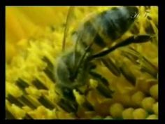 The Qur'an indicates that the honey bees that work in the making of the honey are females. It is impossible for this fact to have been known about the honey bees in the time of the Prophet Muhammad (peace be upon him).