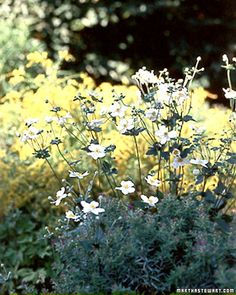 The single white flowers create delicate clouds above a bed or border, making it a staple of the fall garden.