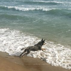 blue heeler in the waves