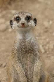 aww! It's a smiling meerkat!