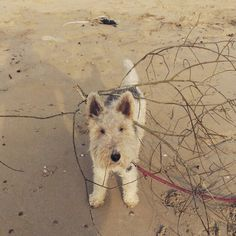 Foxterrier wirehair beach