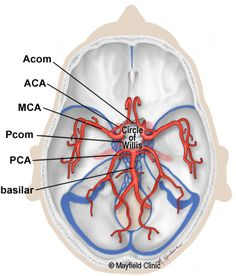 Brain Anatomy, Anatomy of the Human Brain Brain Science, Life Science, Computer Science, Brain Anatomy And Function, Circle Of Willis, Vertebral Artery, Cerebrospinal Fluid, Gross Anatomy, Psychiatric Nursing