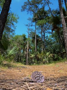 pine cone  hammock nature trail at hontoon island state park deland fl  wekiwa springs state park   things i like about seminole county      rh   pinterest