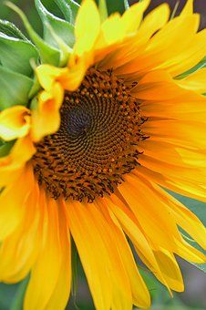 Explore our excellent gallery of more than beautiful sunflower images and pictures. Growing Sunflowers, Sunflowers And Daisies, Sun Flowers, My Flower, Flower Art, Flower Power, Sunflower Garden, Yellow Sunflower, Amazing Flowers