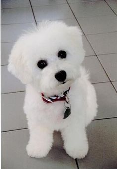 Bichon Frise-If I didn't mind all that hair! Probably would have to go to the salon more than me! Honestly, they are so easy to look after ~ the best way is little but often. My two used to carry their brushes and jump on my knee to be brushed.