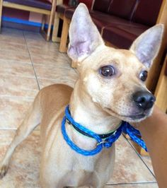Wiggle, the taco terrier (chi and fox terrier) | puppy ... | 236 x 266 jpeg 14kB