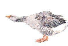 D'oca stampa pittura gander-uccello arte stampa di stampa