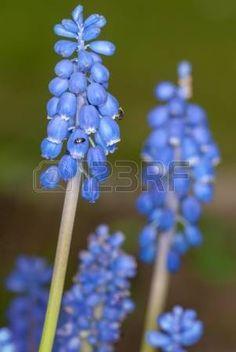 Inflorescences of grape hyacinth, Muscari photo