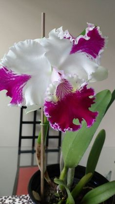 How To Keep Orchids Alive And Looking Gorgeous Beautiful Flowers Wallpapers, Most Beautiful Flowers, Exotic Flowers, Pretty Flowers, Pink Flowers, Yellow Roses, Types Of Orchids, Cattleya Orchid, Dandelion Flower