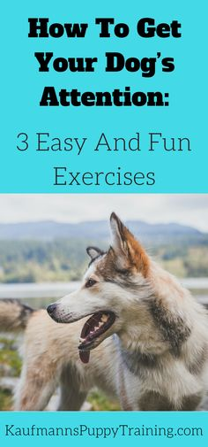 Do you know what one of the most important and underrated aspects of positive dog training is?  Learning how to get your dog's attention. Discover how to get your dog's attention as well as three easy and fun exercises to train this behavior at kaufmannspuppytraining.com #dogtraining #puppytraining @KaufmannsPuppy