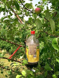 Codling moth trap Up to a cup of molasses mixed with a gallon of vinegar. Pour a couple inches of solution in bottom of 2 liter bottle that has had a section cut out of the side. Hang up, remove moths once a week.