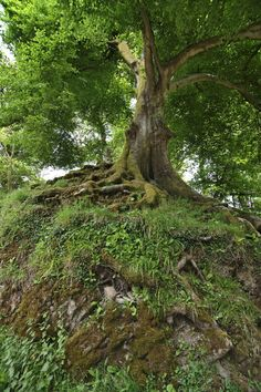 One of the ancient trees at Brown's Walk, a section of woodland created by Capability Brown.  Part of a set of images of Dinefwr Park and Castle, including Newton House.