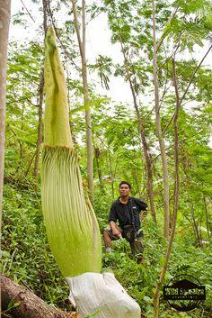 Amorphophallus Titanum by Wild Sumatra,