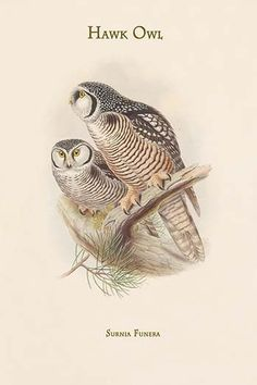 Surnia Funera - Hawk Owl