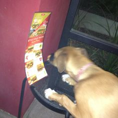 Hades first formal reading experience / boxer & ridgeback mix / tempe marketplace / red robin  I hope she doesn't need glasses or contacts - she really gets close to her menu - perhaps she found food from the last dining dog to lick off