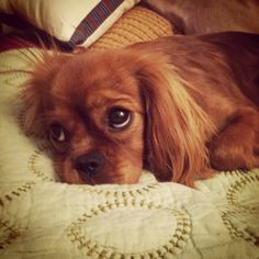 Dublin -- Ruby Cavalier King Charles Spaniel.  1 year old       If you love pets, go here! http://myhobbies.biz/