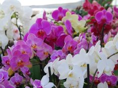 Florarte - Orchidee
