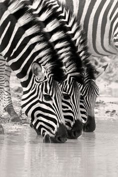 Look closely at the subtle differences in the strips on each zebra's face. Zebra stripes are as distinctive as fingerprints. Nature Animals, Animals And Pets, Funny Animals, Cute Animals, Zebras, Wildlife Photography, Animal Photography, White Photography, Photography Couples