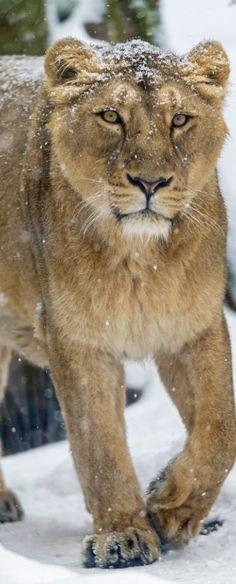 Snowy Lioness Sandy Rowley reviews http://www.merchantcircle.com/business/Mega.Star.Media.Inc.Reno.NV.775-850-5821