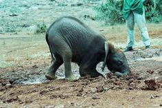 Napasha digging Adopt An Elephant, Elephant Walk, Baby Elephant, Save The Elephants, Lisa S, Gentle Giant, African Elephant, Zoo Animals, Pet Birds