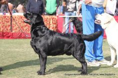 SUNNYLAND ROCK AND ROLL, Labrador Retriever Dog Show, Dog Pictures, Rock And Roll, Labrador Retriever, Dogs, Animals, Labrador Retrievers, Animales, Pictures Of Dogs