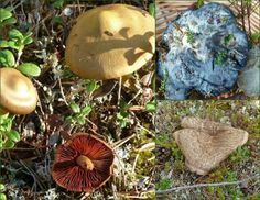 Nyt on sienivärjäyksen aika. It´s time to do the dayering with mushrooms. #kasvivarjays #neule #jussakka #natural dye #autum #fall #syksy #kasityokortteli #varit #colors #sieni #mushrooms