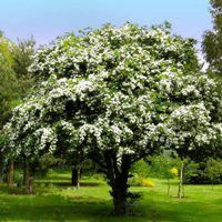 Winter King Hawthorn Tree | Nature Hills Nursery