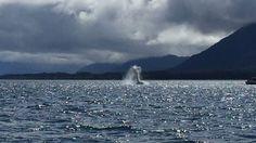 Juneau, Alaska - whale breaching