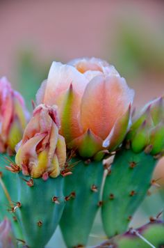 cactus in bloom .... I see cactus all the time but I never get tired of all the different colours.