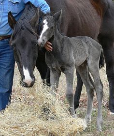 Sugar Bear's new colt at Walnut Creek Alpacas, by Karen G via Flickr