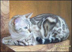 Beautiful Cats, Animals Beautiful, Cute Animals, Beautiful Creatures, Bengal Cat For Sale, Bengal Cats, Marble Bengal Cat, Asian Leopard Cat, Rare Cat Breeds