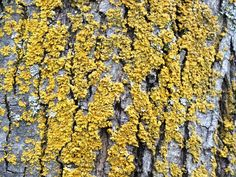 Hooded Sunburst Lichen Xanthomendoza fallax yellow lichen on maple tree trunk