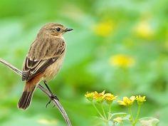 #344 黑喉蔓駐   黑喉鴝.攝於台灣 台北縣 野柳 Stonechat, taken at Yehliu, Taip…   Flickr