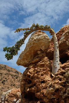 Young cucumber tree art design landspacing to plant Trees And Shrubs, Trees To Plant, Weird Trees, Socotra, Twisted Tree, Bottle Trees, Planting Succulents, Succulent Plants, Succulent Terrarium