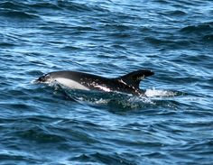 Dolphins are fast swimmers!