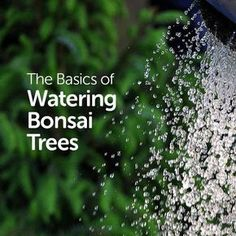 Watering bonsai can be easy if you know what you're doing. Make sure not to water too much, especially for indoor bonsai, as the water evaporates slowly, and you don't want to drown your tree. Buy Bonsai Tree, Bonsai Tree Care, Bonsai Tree Types, Indoor Bonsai Tree, Indoor Trees, Bonsai Plants, Bonsai Garden, Indoor Plants, Indoor Gardening