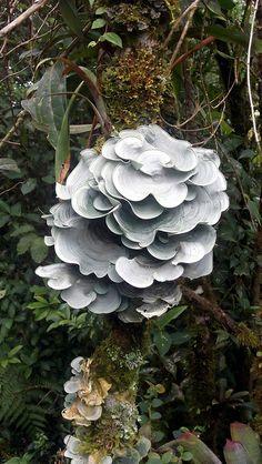 Lichen (Dictyonema sp) by Daniel-CR, via   Flickr