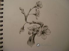 Cherry blossom – Sakura drawings with pencil (part1)